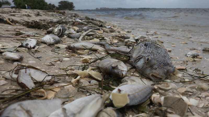 Dead+Fish+Flowing+on+Shore+in+Florida