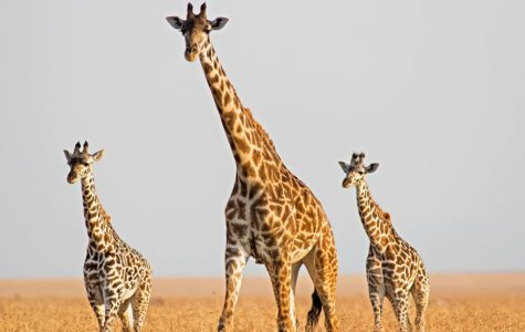Giraffes: An Endangered Species
